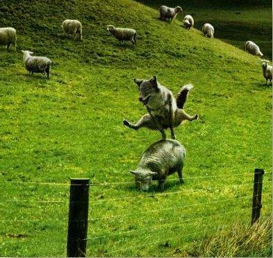 wolf jumping sheep